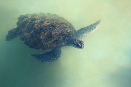 tortue verte: Petite tortue verte