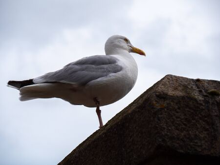 A seagull staying on a wall on one leg. 版權商用圖片