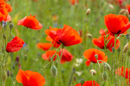 Beautiful big red poppy field in the morning sunlight. poppy field with a sprig of purple poppy flowers Soft focus blurred background Europe