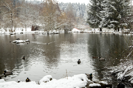 wild ducks on a snowy pond