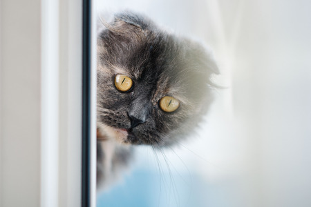 Beautiful grey Scottish fold cat with yellow eyes looking through the window. Close up