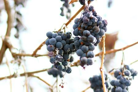 霜でブドウ。冬アイス フルーツ 写真素材