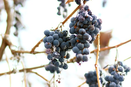 Grapes in the frost. Winter ice fruit