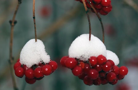 berryes: red snowball tree berryes bunch under snow Stock Photo