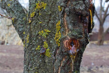 seeping: Gum seeping from a wattle tree. Ukraine