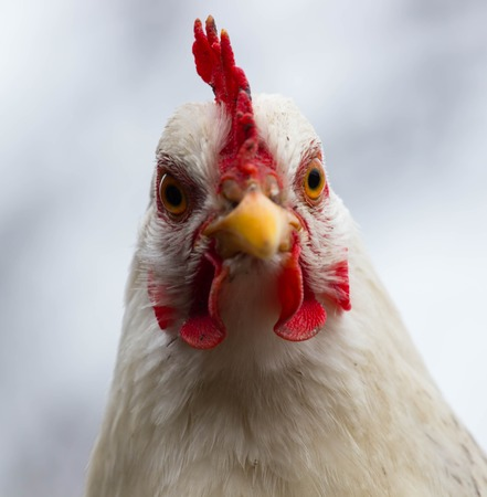 닭의 닭의 머리 국지적 인 헤드. 닫다. 흰색 배경