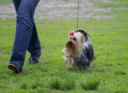 silky terrier: Yorkshire terrier running across the grass with hostess Stock Photo