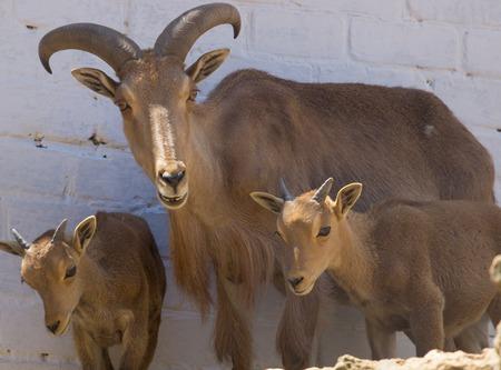 ram horn: Big Horn Sheep ram  with young lambs