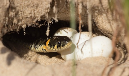 protects: snake eggs in a hole, which protects the mother