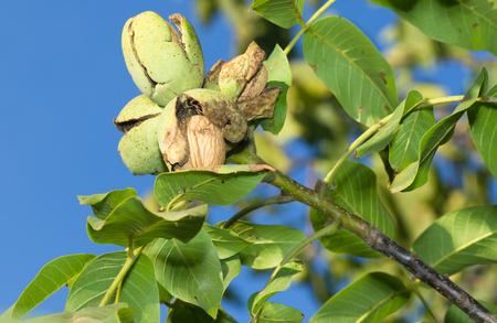 walnut tree: Ripe nuts of a Walnut tree. Clouse up