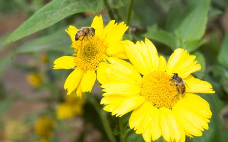 miel de abeja: Abeja en flor abeja increíble, abeja poliniza la flor amarilla