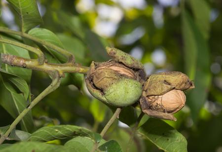 월 넛 나무의 잘 익은 견과류. 클로드 스톡 콘텐츠