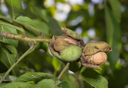 Ripe nuts of a Walnut tree. Clouse up