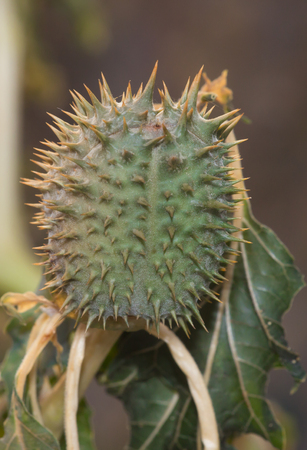 hallucinogen: flowers and fruits of wild intoxication,datura. Clouse up