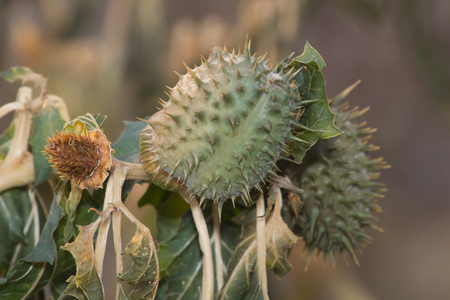 intoxication: flowers and fruits of wild intoxication,datura. Clouse up
