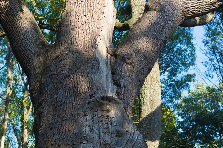 venerable: Massive stem of venerable tree is photographed from below against the blue sky. Maksym Zaliznyaks oak is the most famous Ukrainian tree. It is 1100 years old. Cold Yar tract Stock Photo