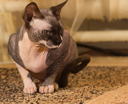 1 year old: Sphynx cat, 1 year old, clouse up