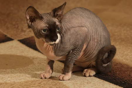 hairless: Close-up portrait of adult hairless Don Sphinx