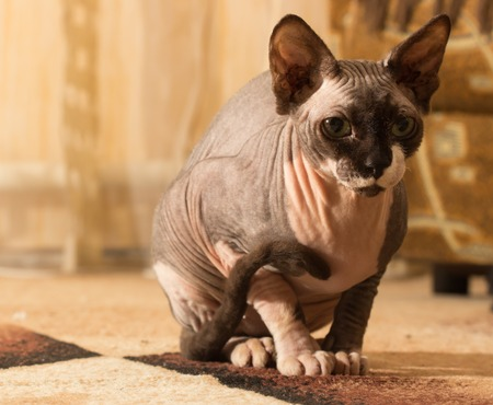 sphinx: Close-up portrait of adult hairless Don Sphinx