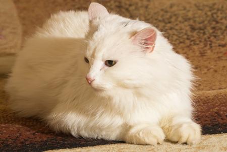 funy: Beautiful funy White Cat  Portrait. Home pets Stock Photo