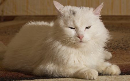 funy: Beautiful funy White Cat  Portrait. Home pets Stock Photo
