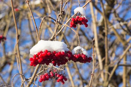 berryes: red frost snowball tree berryes bunch under snow Stock Photo