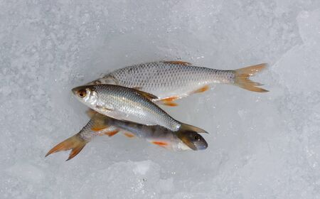 frozen fish: The fresh frozen fish on ice. Seafood Stock Photo