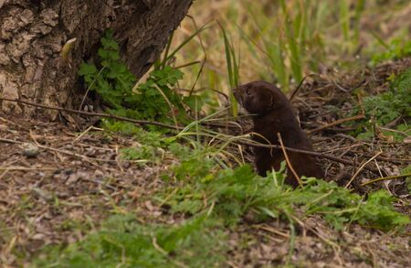 stoat: Long tailed Weasel hiding in tall grass Stock Photo