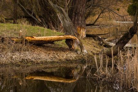 chewed: Tree gnawed by beaver. wild nature in Ukraine