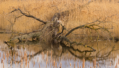 chewed: Tree gnawed by beaver. wild nature. A late autumn view of a swamp.  Bolo cane lonely