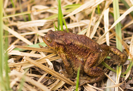 horned frog: big Frog on the grass ground. wildlife Stock Photo