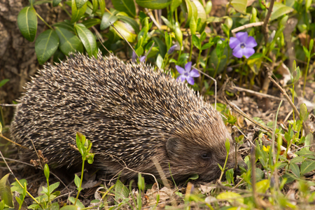natural habitat: Young hedgehog in natural habitat. Clouse up Stock Photo