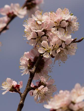 apricot tree: Apricot tree flower, seasonal floral nature background Stock Photo