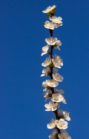 apricot tree: Beautiful blooming apricot tree over blue sky