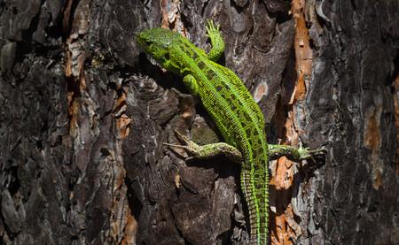 lacerta viridis: Green lizard. Lacerta viridis is a species of lizard of the genus Green lizards. Lizard in the forest Stock Photo