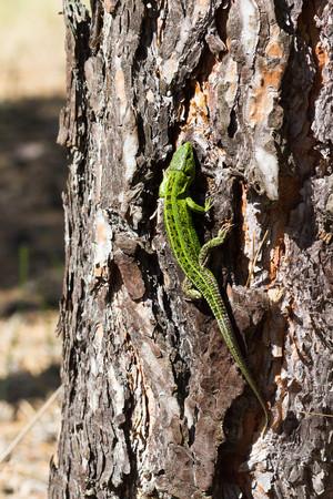 lacerta: Sand lizard, Lacerta agilis. The male lizard in breeding green color. Crawl on tree