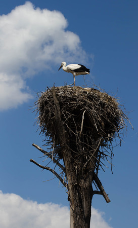 Stork in the nest on a power line Stock Photo
