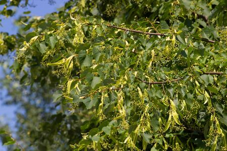 linden blossom: The Linden tree blossom in blue sky Stock Photo