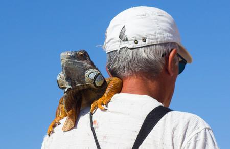 harmless: Man with iguana lizard on his shoulder Stock Photo