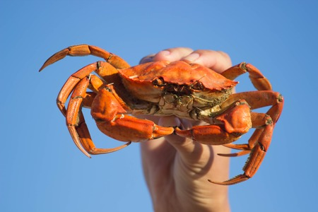 Hands holding red boiled crab on blue background