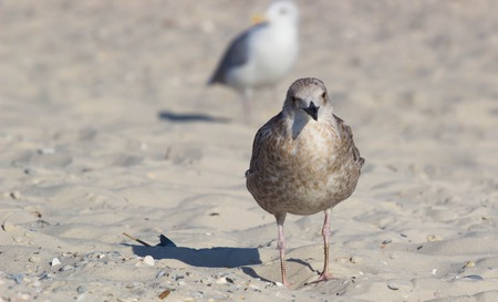 scavenger: The shearwater bird on the beach. Petrel