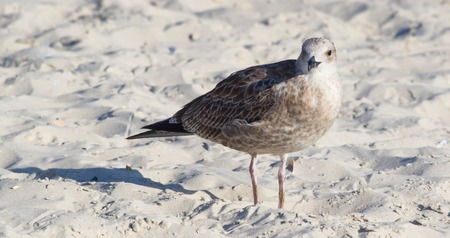 The shearwater bird on the beach. Petrel