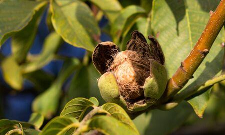 Ripe nuts of a Walnut tree. Clouse up