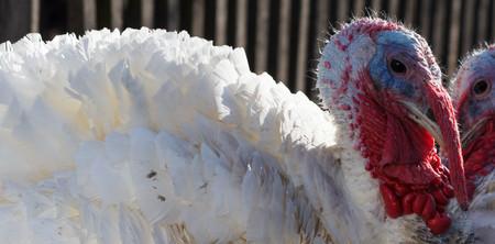 White Turkey Outdoors on the farm. poultry yard Stock Photo