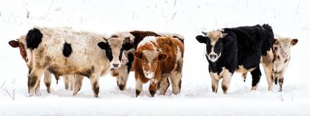雪の風景は、放牧牛、 写真素材