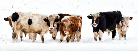 cow in snow landscape,  grazing in the , Фото со стока - 70888979