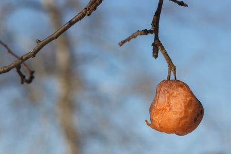 An old rotten apple hanging on a branch . winter