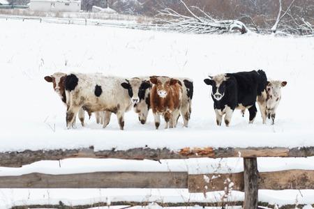 牛の雪の風景の中、雪の放牧牛 写真素材
