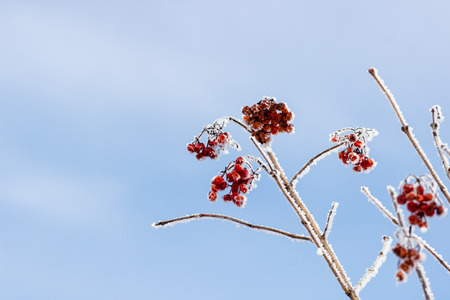Winter Frozen Viburnum Under Snow. Viburnum In The Snow. First snow. Autumn and snow. Beautiful winter. Winter wind. Icicles. Frost