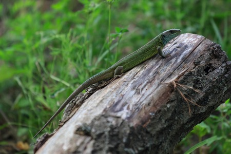 lacerta: Reptile shot close-up. Green lizard, basking on tree under the sun. Male lizard in mating season on a tree,covered with moss and lichen.The sand lizard Stock Photo